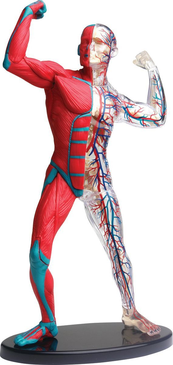 Купить EDU-TOYS Анатомический набор Мышцы 19 см. SK056, Китай