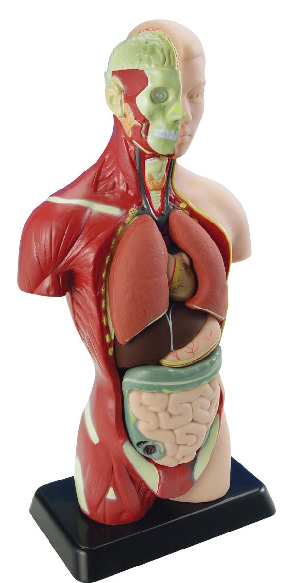 Купить EDU-TOYS Анатомический набор Тело и органы 27 см. MK027, Китай